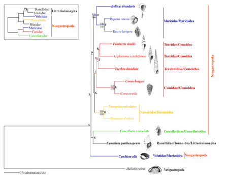 Phylogenetic relationships within Gastropoda.